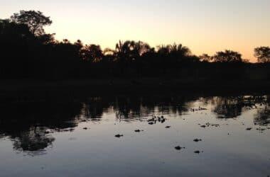 pantanal_bresil_alligator_caimans_lac