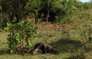 pantanal_bresil_tamanoir_sauvage_fourmilier