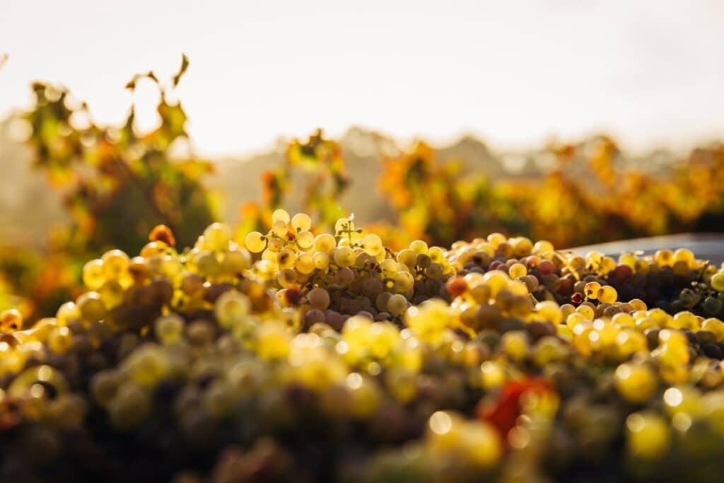 visiter-clisson_vin-muscadet-vigne